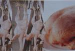 Jual Mesin Pencabut Bulu Ayam dan Unggas di Blitar